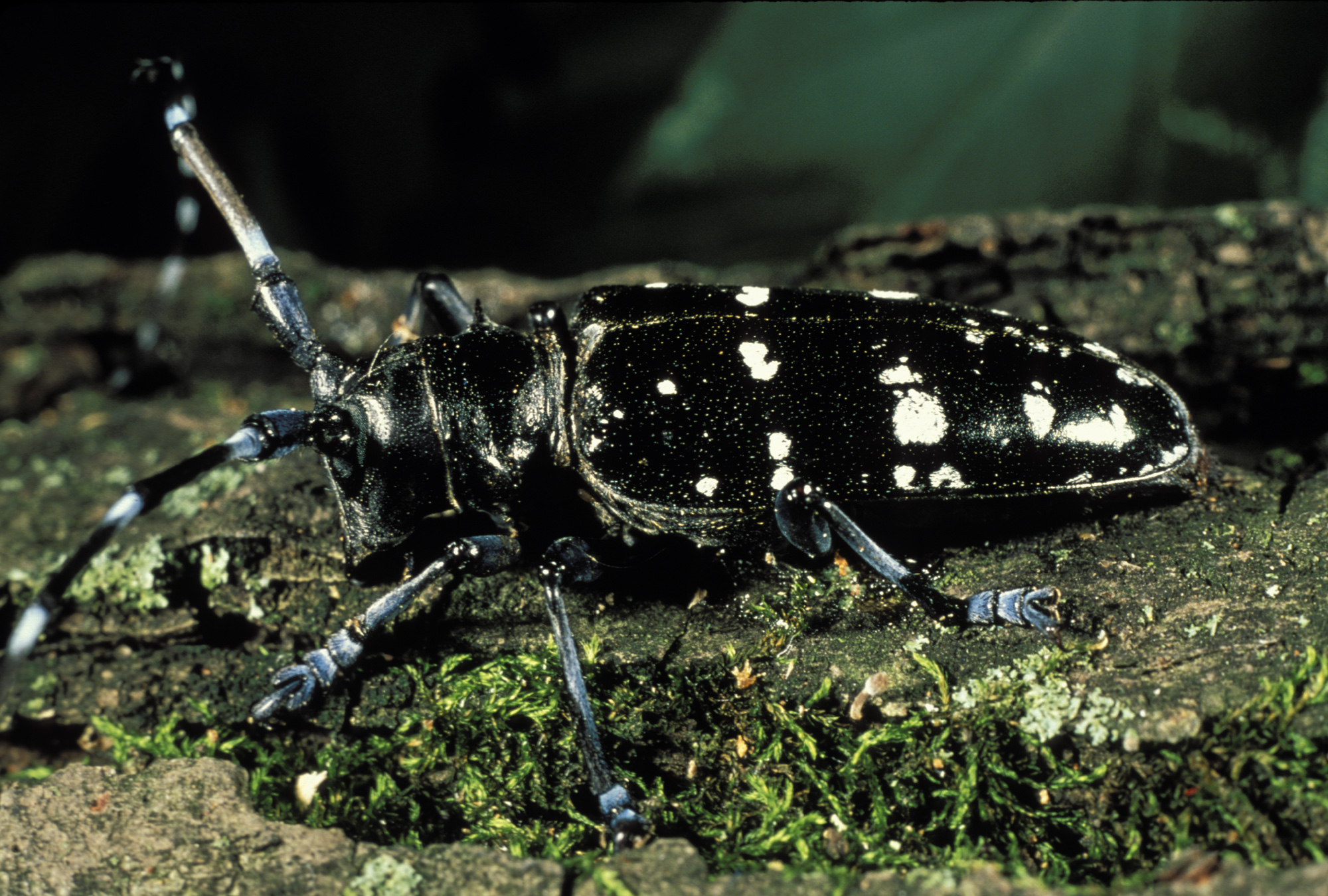 Asian longhorn beetle control sites