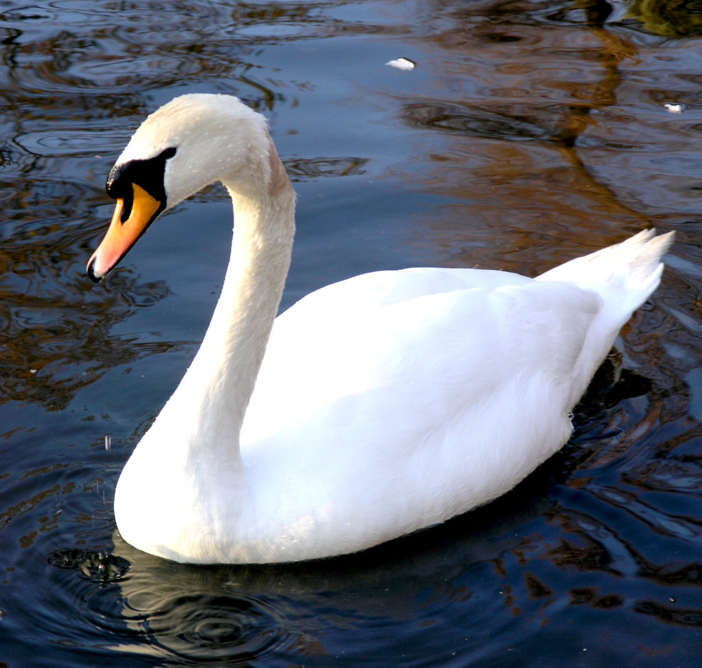 mute swans a threat to wetlands and wildlife michigan united