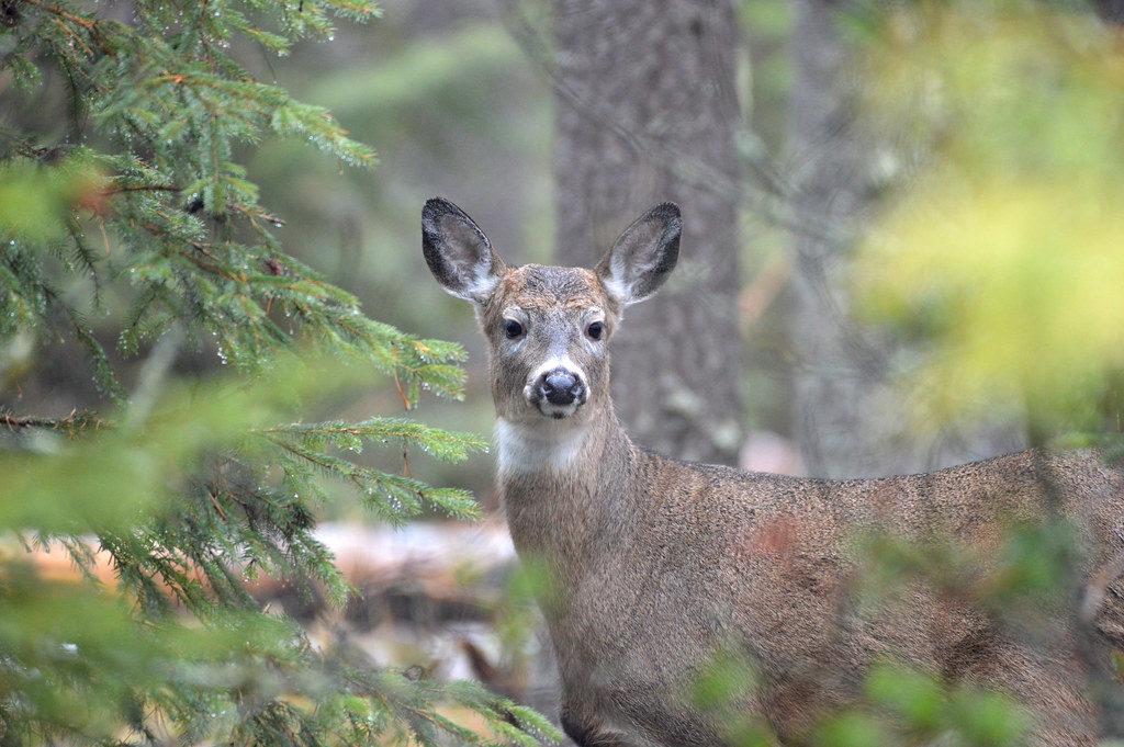 Thumb-area APRs fall short, NRC takes aim at deer